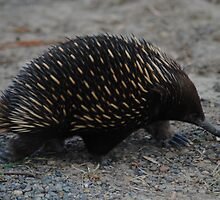 Echidna on the move - Whittlesea, Victoria by Heather Samsa