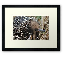 Echidna, looking for his evening meal #2 - Whittlesea, Victoria Framed Print
