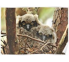 Baby Great Horned Owlets Poster
