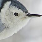 A White-breasted Nuthatch Profile by lorilee