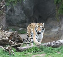 Detroit Zoo Tiger by bng9306
