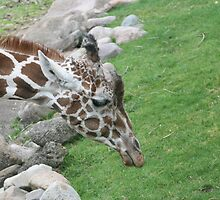 Giraffe by bng9306