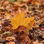 Autumn Leaf by Martina Fagan