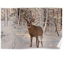Male deer - Buck - Ottawa, Canada Poster
