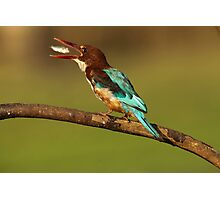 White-throated kingfisher with a fish in its beak Photographic Print