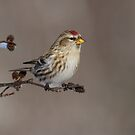 Common Redpoll on Alder by Bill McMullen