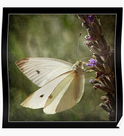 Butterfly - Cabbage Moth on Lavender  Poster