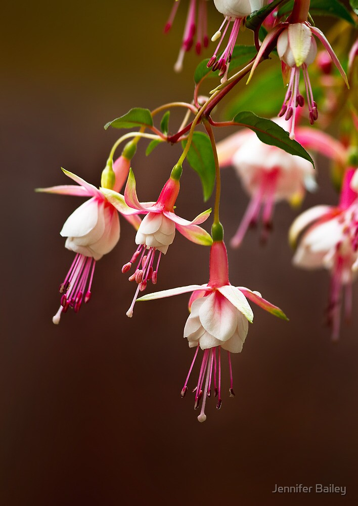Fuschia from My Garden by Jennifer Bailey