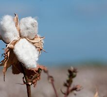Cotton field  by PhotoStock-Isra