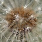 dandelion clock closeup by geoffford