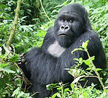 Male Mountain Gorillas in the wild  by PhotoStock-Isra