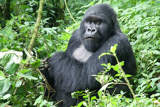 Male Mountain Gorillas in the wild  by PhotoStock-Isra
