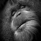 A sage Orangutan preparing to share something wise.  by alan shapiro