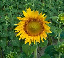 Early Sunflower by Junec