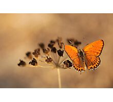 Fiery Copper (Thersamonia thersamon) butterfly.  Photographic Print