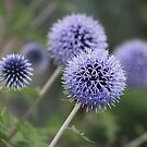Globe Thistle  by Rose Landry