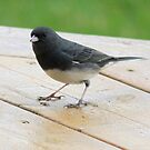 Black Eye Junco! by Rose Landry