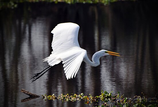 Great Egret in Flight by venny