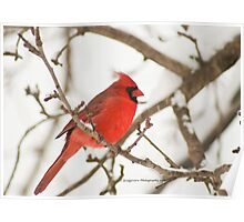 Cardinals and snow just go together Poster