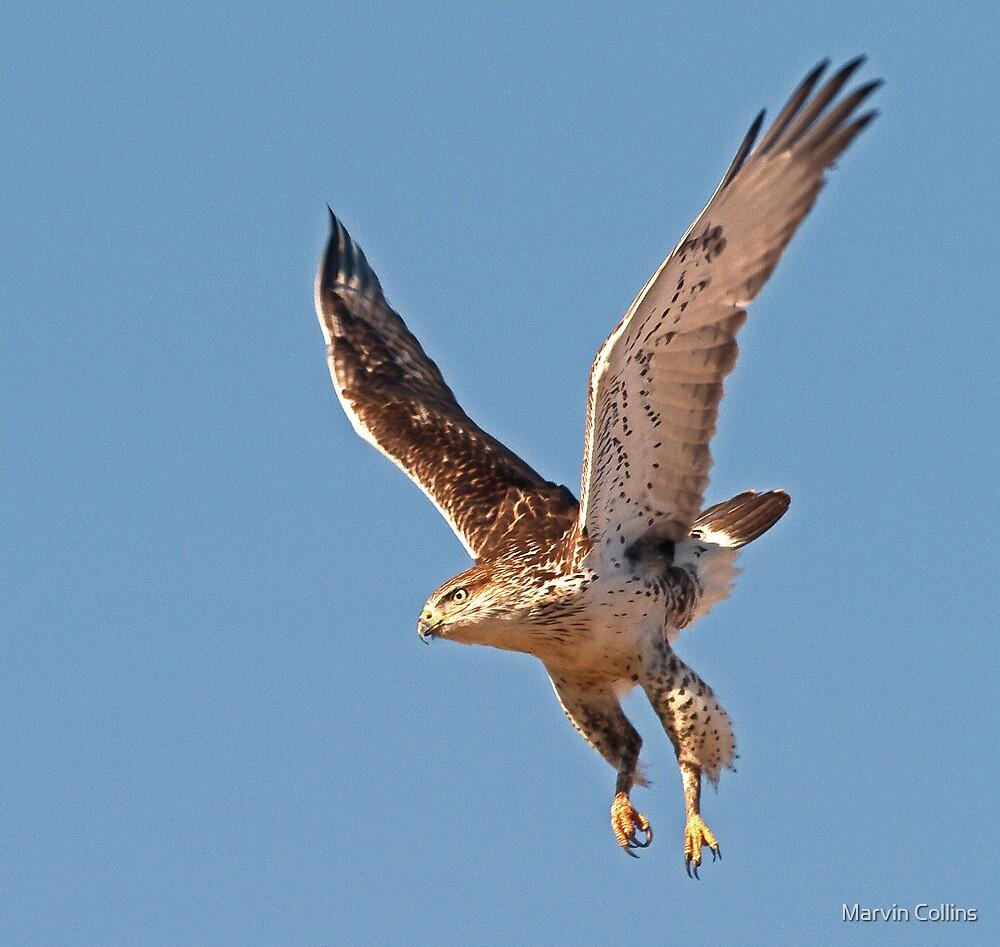 122912 Ferruginous Hawk by Marvin Collins