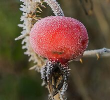 Frosty morning rosehip by MikeSquires