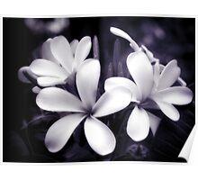 Tropical Plumeria Poster