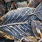 Frosty veins of a leaf. by Livvy Young