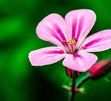 Flora - PinkPetals by ncp-photography