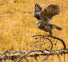 Great Grey Owl by Rose Vanderstap