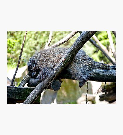 New World Porcupine Photographic Print