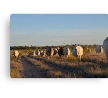 Sticky beaks.....Murray Grey Cows coming for a look Canvas Print