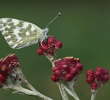 Bath White (Pontia daplidice) Butterfly by PhotoStock-Isra
