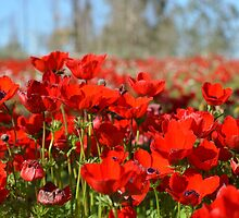 Red Anemone coronaria AKA Spanish marigold or Kalanit by PhotoStock-Isra
