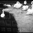 Swans in black and white by pahas