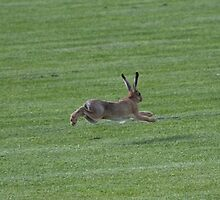 Hare running in open field by SVW1967