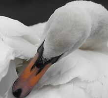 Wild Swan Preening by Moonlake