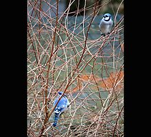 Cyanocitta Cristata - North American Blue Jays by © Sophie W. Smith