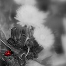 Ladybird On Daisy's by Stan Owen