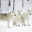 ..a different Wolf Pack... by John44