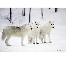 ..a different Wolf Pack... Photographic Print