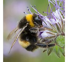 Bumbling Along Photographic Print