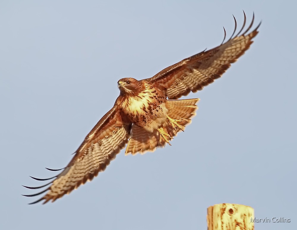 1218121 Red Tailed Hawk by Marvin Collins