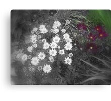 Patch of Daisies Canvas Print