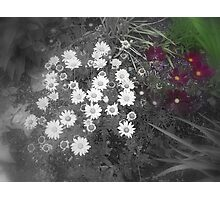 Patch of Daisies Photographic Print