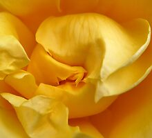 Yellow Rose by Jennifer Bailey