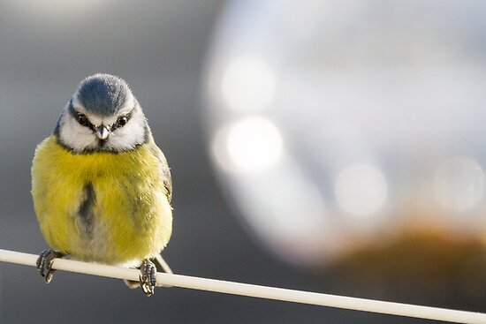 Portrait of a Bluetit by Michael G Devereux