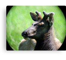 Elk,Outside Reedsport,Oregon USA Canvas Print