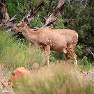 Deer in the forest,Zion National Park,Utah,USA by Anthony & Nancy  Leake