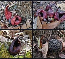 Skunk Cabbage Wildflower - Symplocarpus foetidus by MotherNature