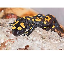 Fire Salamander (Salamandra salamandra) Close-up Photographic Print